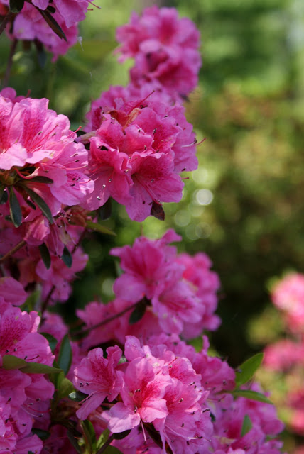 انواع الزهور المنزلية