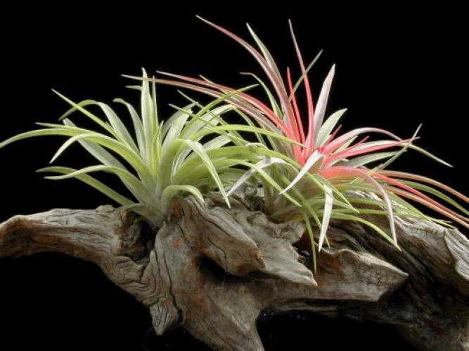 نبات التيلاندسيا